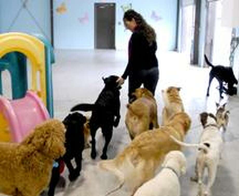 Dogs follow Meg Montano, co-owner of The Barking Lot, a dog daycare and sleep over facility on Sherman Ave. in Hamden in the indoor play area. (PETER HVIZDAK/Register)