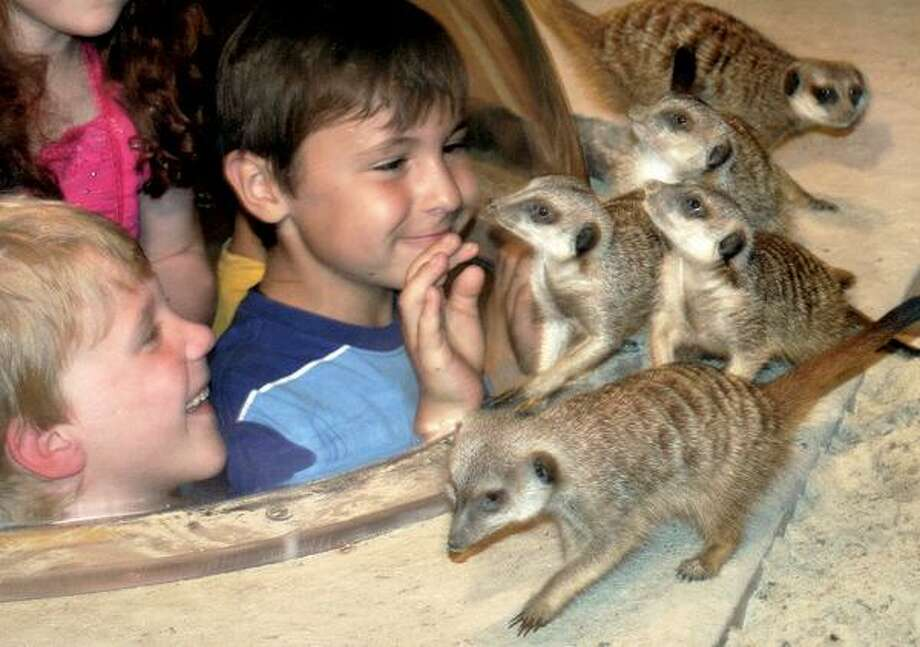 """Maritime Aquarium photos, These guys are the stars of """"Africa: From the Desert to the Sea"""" exhibit, which highlights wildlife from different parts of Africa, but focuses mainly on meerkats and African penguins."""