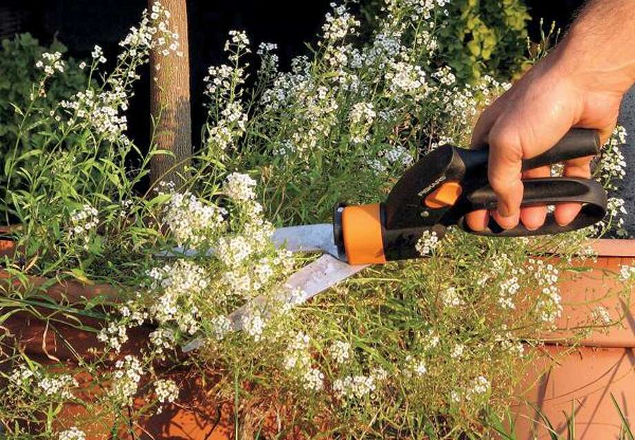 Lee Reich/For the Associated Press, Even pruning annuals such as this sweet alyssum can help make plants bushier or increase the size of flowers.