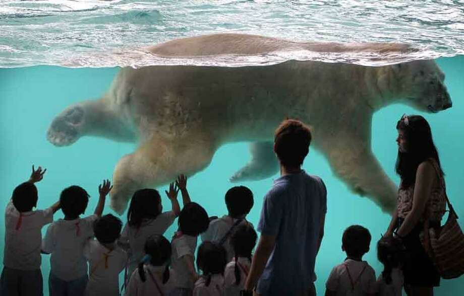Inuka, the first polar bear born in the tropics, swims in his new enclosure at the Singapore Zoo on Wednesday, May 29, 2013 in Singapore. Modeled closely after the arctic habitat, the enclosure helps replicate the chilly climate of the arctic by including an ice cave, and a large pool filled with giant ice blocks. These are part of the Wildlife Reserves Singapore's efforts in providing visitors greater knowledge of the natural world. (AP Photo/Wong Maye-E) Photo: ASSOCIATED PRESS / THE ASSOCIATED PRESS2013