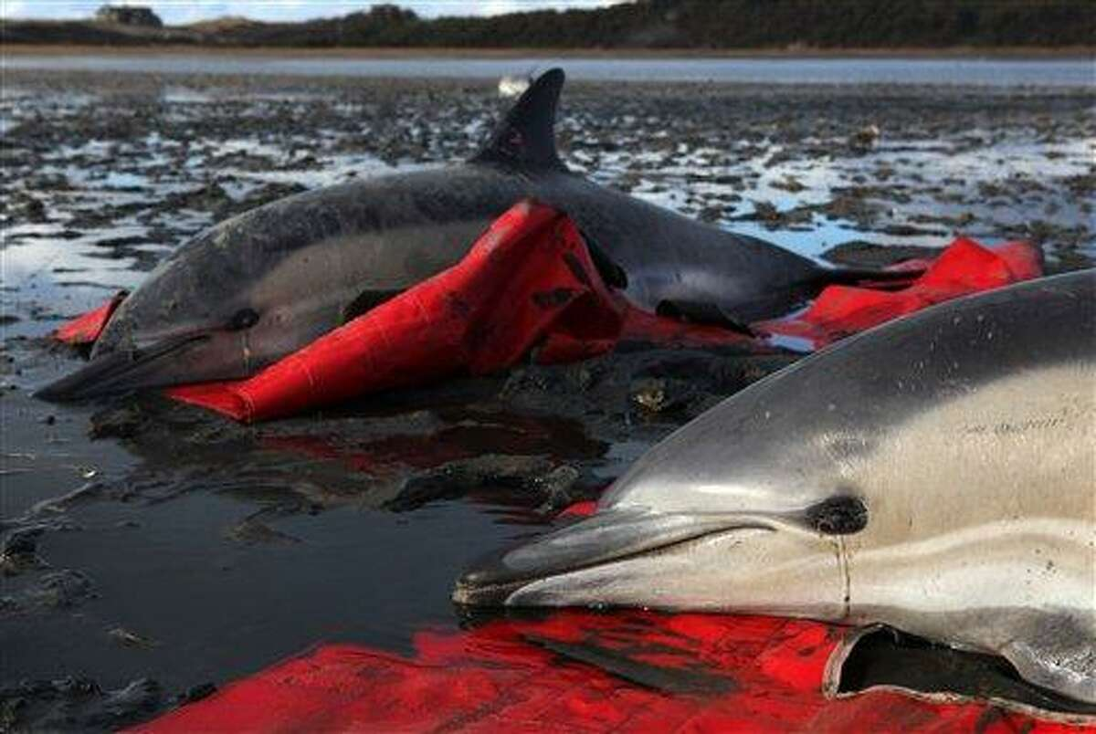 In this Jan. 19, 2012, file photo, two stranded common dolphins wait to be transported to a waiting vehicle by a team from the International Fund for Animal Welfare at Herring River in Wellfleet, Mass. Dozens of dolphins have stranded themselves on Cape Cod during the past few weeks, and 77 are adead so far. Associated Press