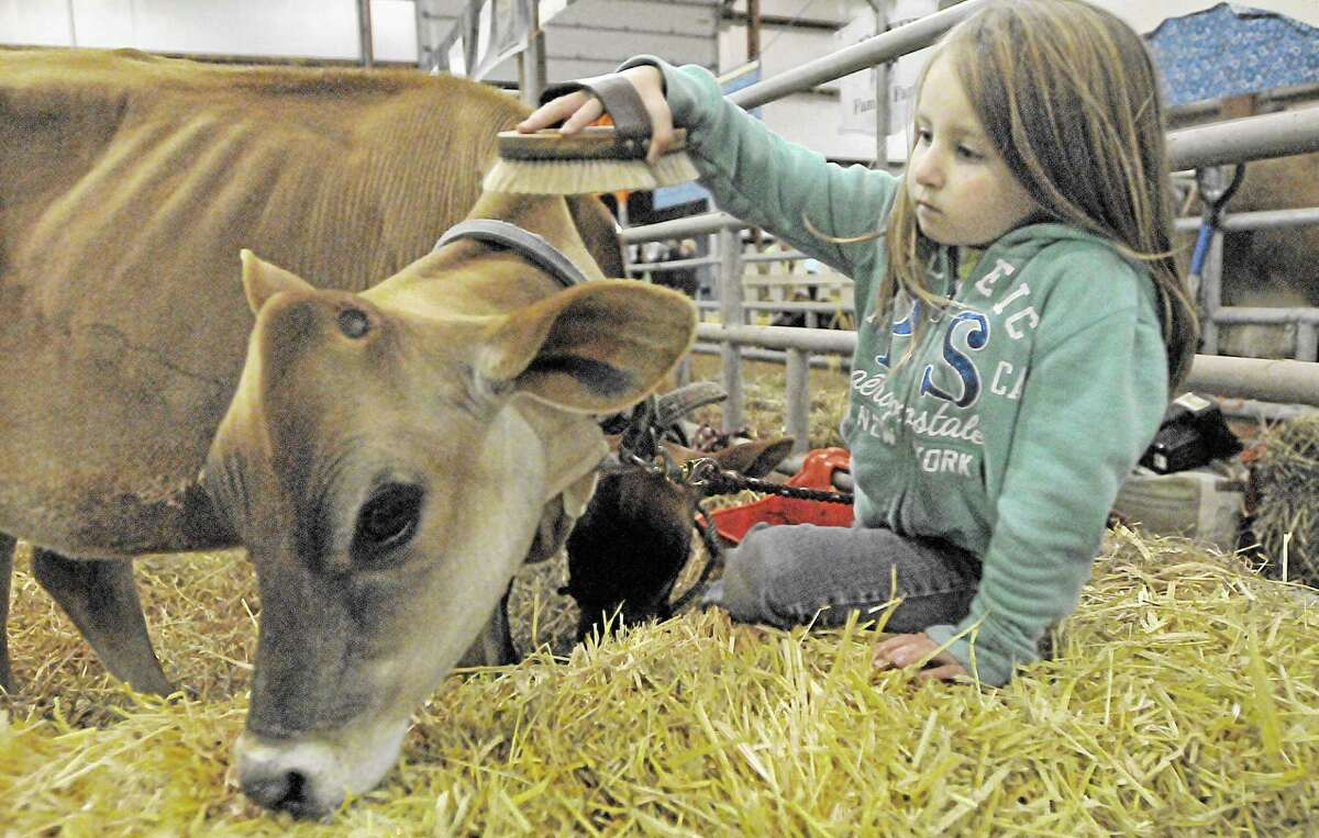 Durham resident Reba Larkin, 7, brushes her five-month old Jersey, Tiara Thursday evening at the Durham Fair. Larkin proudly refers to herself as a fair baby because her mom, Melynda Naples, owner of Deerfield Farm gave birth to her on closing night seven years ago. Catherine Avalone - The Middletown Press