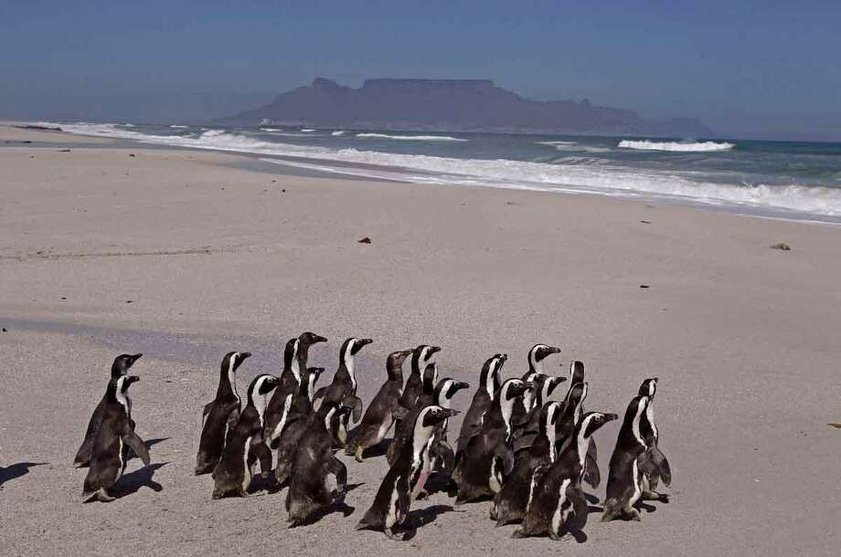 Penguins walk to the ocean with Table Mountain as backdrop, during their release by workers from the South African Foundation for the Conservation of Coastal Birds, SANCCOB, on the outskirts of the city of Cape Town, South Africa, Tuesday, Sept  25, 2012. Over two hundred penguins found covered in oil following a spillage by a stricken bulk carrier the Seli 1 were washed clean of oil, fed and restored to health. Thirty birds released Tuesday. (AP Photo/Schalk van Zuydam) Photo: ASSOCIATED PRESS / AP2012