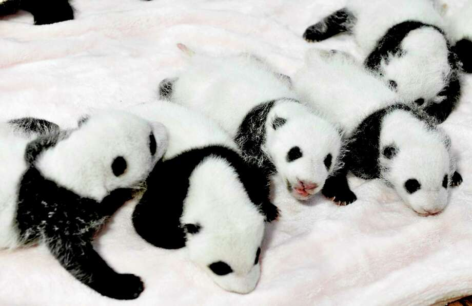 In this Monday,Sept. 23, 2013 photo, panda cubs rest in a crib at the Giant Panda Breeding and Research Base in Chengdu, in southwest China's Sichuan province. One cub like these is faring well in the National Zoo in DC. Photo: The Associated Press  / Color China Photo
