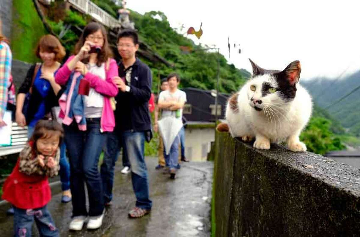 In this May 24, 2013 photo, tourists stop to view one of the hundred or so resident cats resting on a wall in the small town of Houtong, Taiwan. Cat lovers arrive by the dozens to fondle and photograph the felines of Houtong, one of Taiwan's former coal mining communities. Local residents welcome the unexpected rise in tourism due to the large feline population by building feeding points, lounging pedestals and have gone as far as constructing an elevated bridge for cats and visitors to roam across the passing railroad tracks. (AP Photo/Wally Santana)