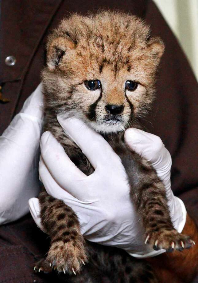 Cheetah keeper Gil Myers holds a one-month-old female cheetah cub, at the National Zoo in Washington, Wednesday, May 23, 2012, that was delivered via a rare caesarian section. (AP Photo/Jacquelyn Martin) Photo: ASSOCIATED PRESS / AP2012