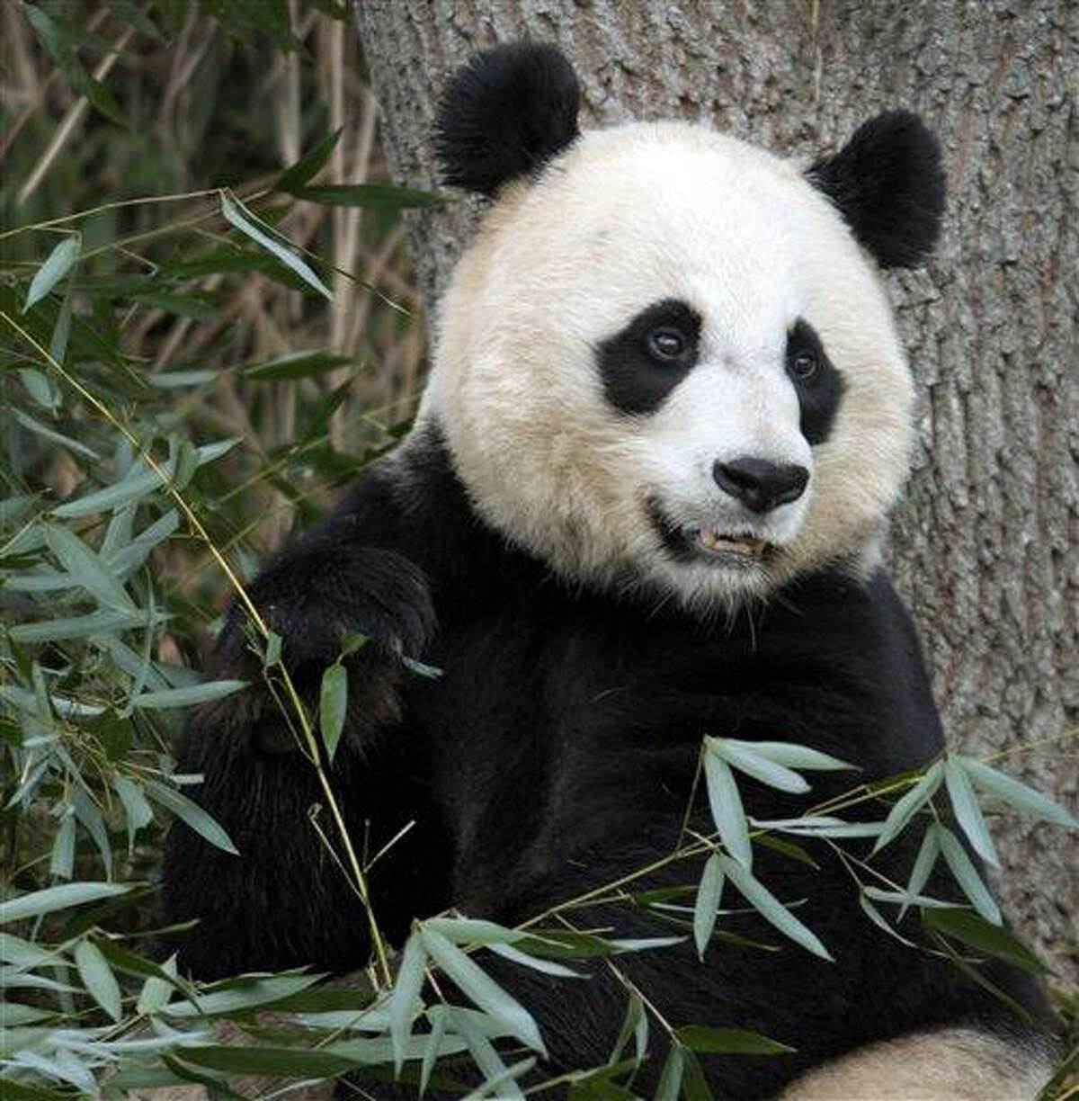 In this 2011 file photo, Mei Xiang, the female giant panda at the Smithsonian's National Zoo in Washington, eats breakfast. Associated Press