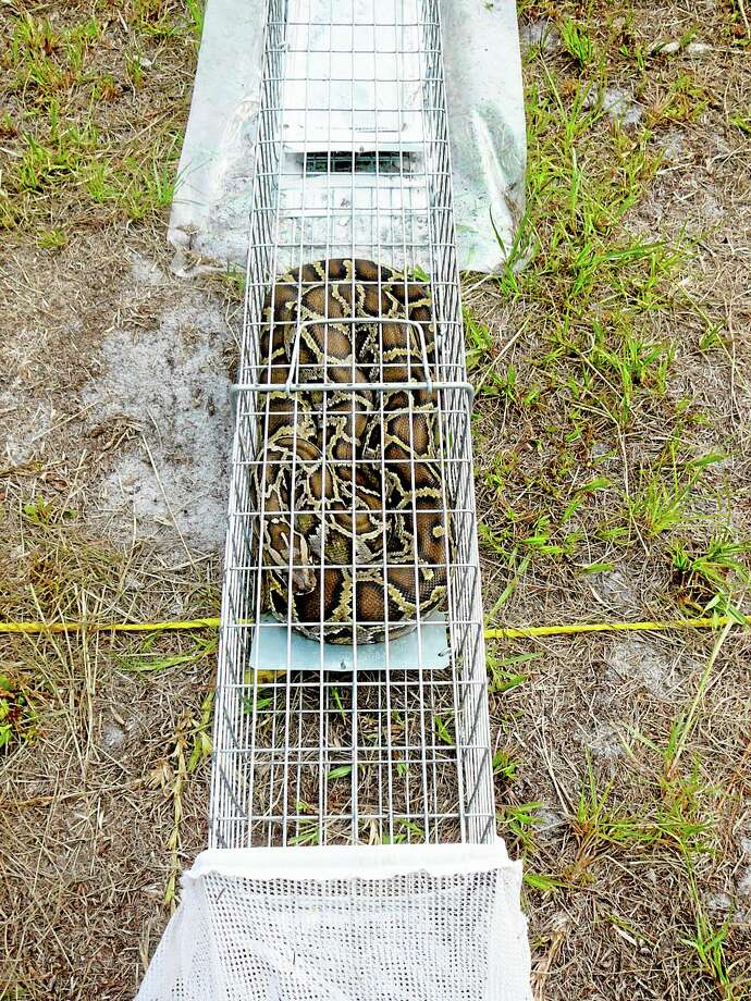 In this photo taken from a video on June 8, 20011 and made available by the USDA Wildlife Services shows a python curled up in a test trap at their research facility in Gainesville, Fla.  The trap patented by the USDA will test if pythons can be lured into traps. Pythons are invasive species that researchers believe are decimating populations of native mammals, especially in the Florida Everglades. (AP Photo/USDA Wildlife Services, HO) Photo: AP / USDA Wildlife Services