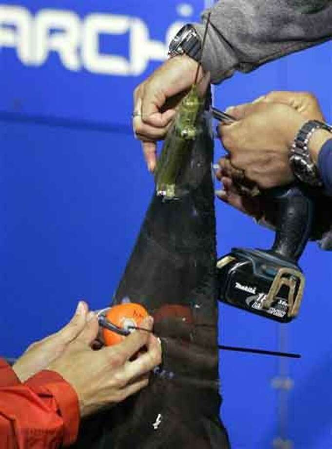 Researchers screw satellite and acoustic tags onto the dorsal fin of a great white shark on the research vessel Ocearch in the Atlantic Ocean off the coast of Chatham, Mass., Thursday. Once released, the tags will track the location and speed of the nearly 15-foot, 2,292-pound Genie, named for famed shark researcher Eugenie Clark. Associated Press Photo: AP / AP