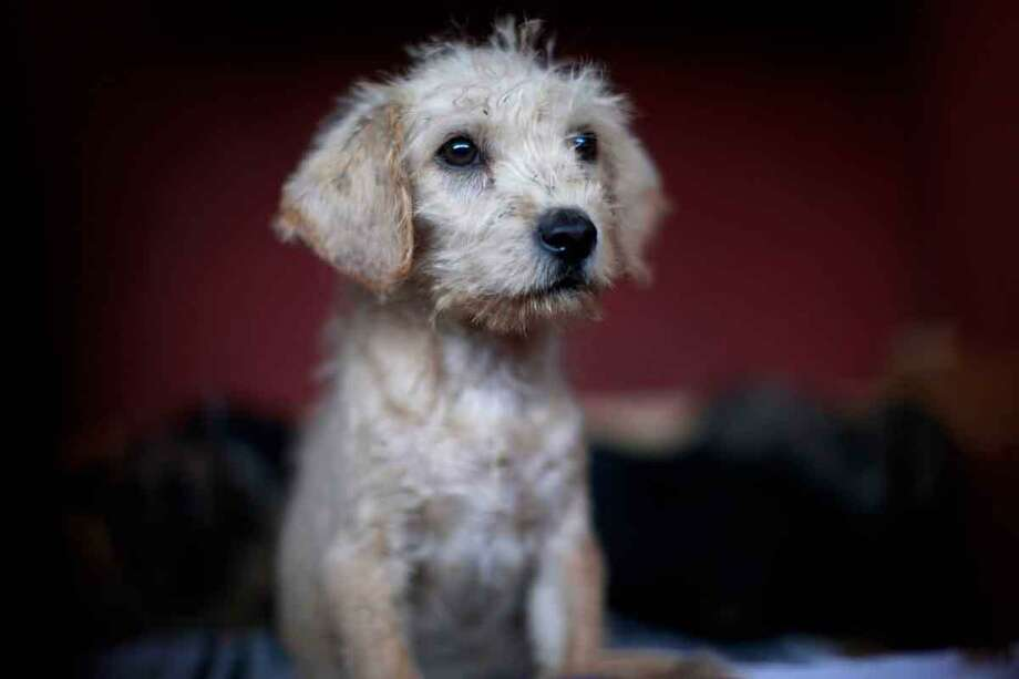 A puppy that was caught near the site of four fatal maulings sits inside a cage at a city dog pound in Mexico City,Wednesday, Jan. 9, 2013. Authorities have captured dozens of dogs near the scene of the attacks in the capital's poor Iztapalapa district, but rather than calm residents, photos of the forlorn dogs brought a wave of sympathy for the animals, doubts about their involvement in the killings and debate about government handling of the stray dog problem. (AP Photo/Dario Lopez-Mills) Photo: ASSOCIATED PRESS / AP2013