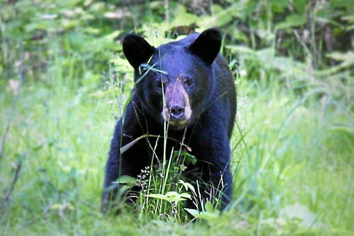 A black bear like this one was spotted near Spencer Elementary School in Middletown on Friday.