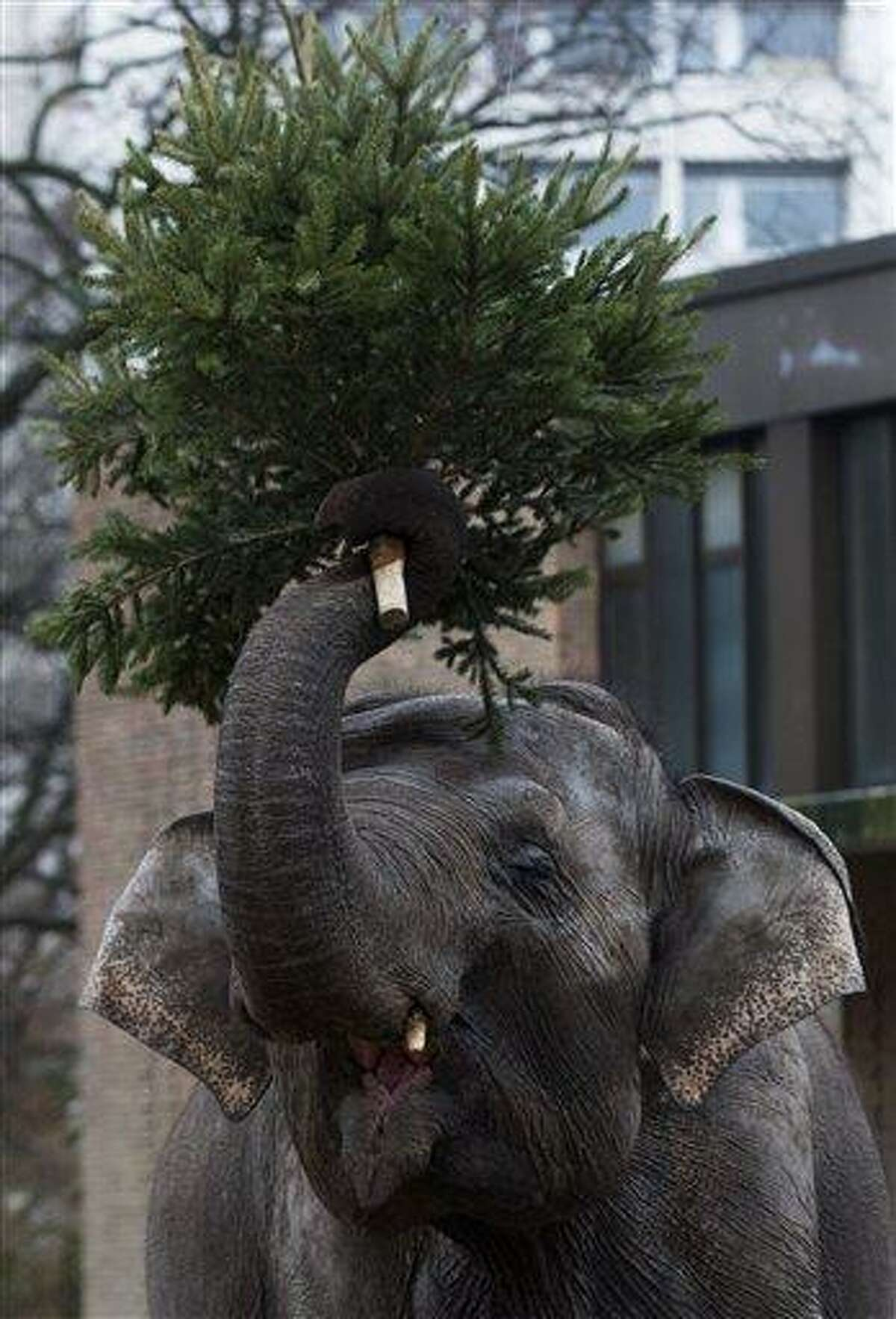 An elephant holds a Christmas tree at the Berlin Zoo at the launch of the annual feeding of Christmas trees in Berlin, Friday, Jan. 4, 2013. Keeper Dr. Ragnar Kuehne told reporters that today was the first day the elephants and some other zoo animals were fed with Christmas trees after the holiday period. The trees have not been used and were not sold, they were donated by the vendors in the area. (AP Photo/Markus Schreiber)