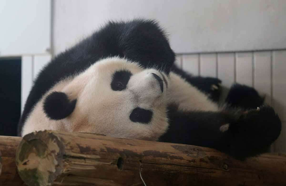 Female giant panda Shin Shin rests at Ueno Zoo in Tokyo Wednesday, June 27, 2012. The zoo announced Monday that Shin Shin, who arrived from China with a male partner in Feb, 2011, has shown signs of pregnancy. The zoo plans to suspend public viewing from July 3 to monitor her closely. A zoo official said the status won't be confirmed until the birth of a baby because there are many cases that end in false pregnancy. (AP Photo/Shizuo Kambayashi)