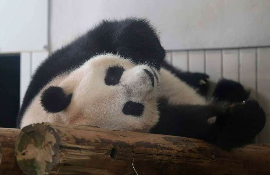 Female giant panda Shin Shin rests at Ueno Zoo in Tokyo Wednesday, June 27, 2012. The zoo announced Monday that Shin Shin, who arrived from China with a male partner in Feb, 2011, has shown signs of pregnancy. The zoo plans to suspend public viewing from July 3 to monitor her closely. A zoo official said the status won't be confirmed until the birth of a baby because there are many cases that end in false pregnancy. (AP Photo/Shizuo Kambayashi) Photo: ASSOCIATED PRESS / AP2012