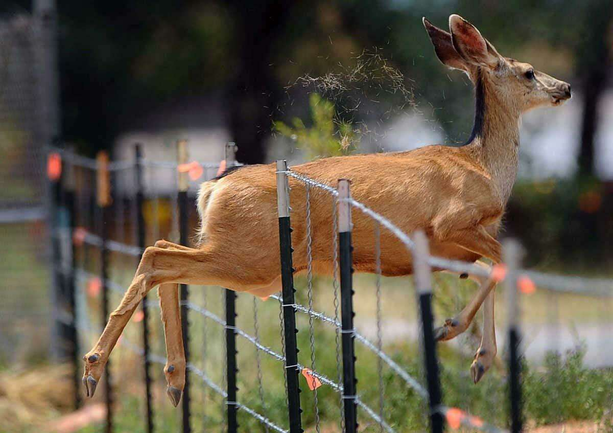 A deer jumps through a fence along U.S. Highway 24 near Manitou Springs, Colo., as a wildfire burns near Cascade, Colo., on Sunday. The fire erupted and grew out of control to more than 3 square miles early Sunday, prompting the evacuation of more than 11,000 residents and an unknown number of tourists. Associated Press