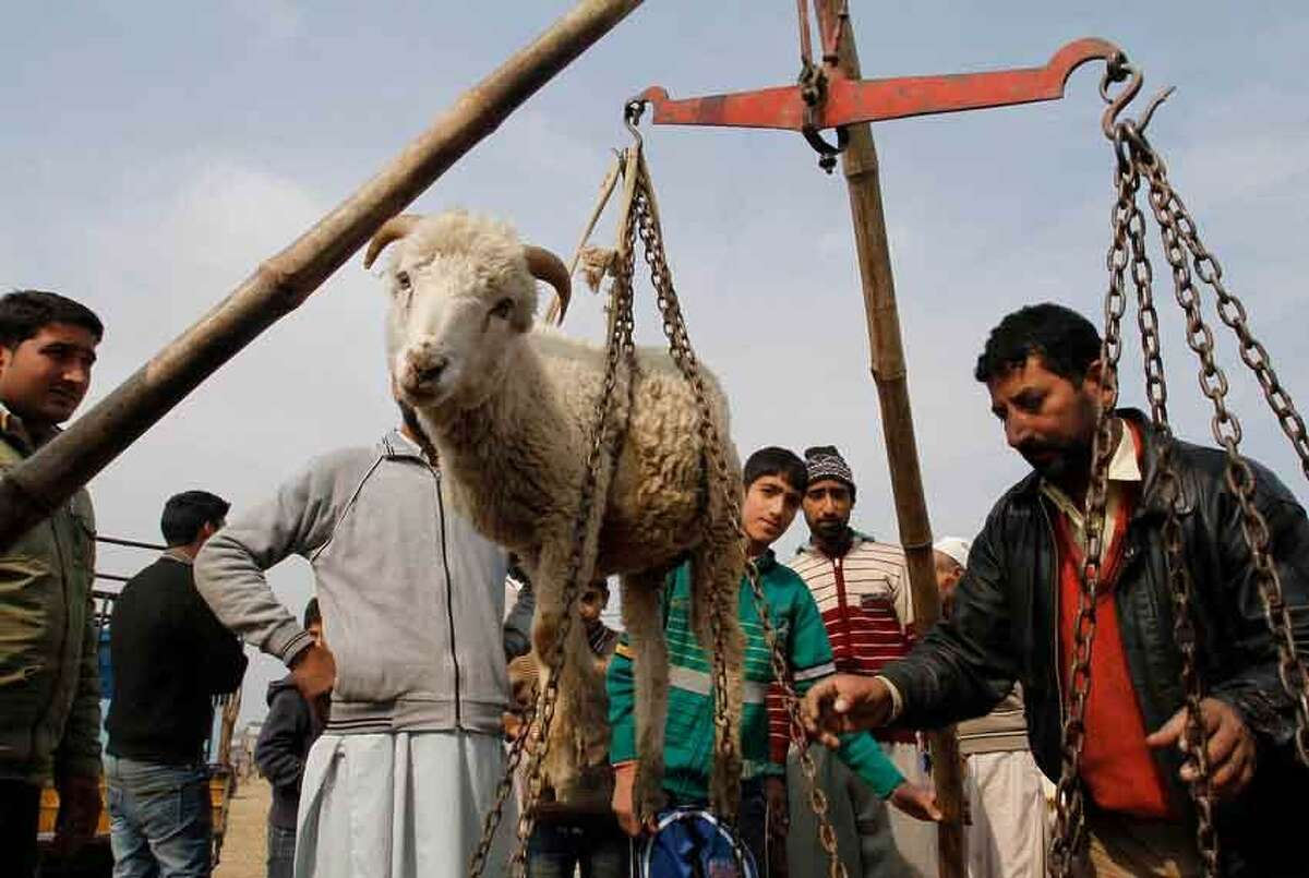 A sheep is weighed at a market ahead of Eid al-Adha festival in Srinagar, India, Tuesday, Oct. 23, 2012. Muslims celebrate Eid al-Adha by slaughtering sheep, goats, camels or cows. The slaughter commemorates the biblical story of Prophet Abraham, who was on the verge of sacrificing his son to obey God's command when God interceded by substituting a ram in the child's place. (AP Photo/Mukhtar Khan)