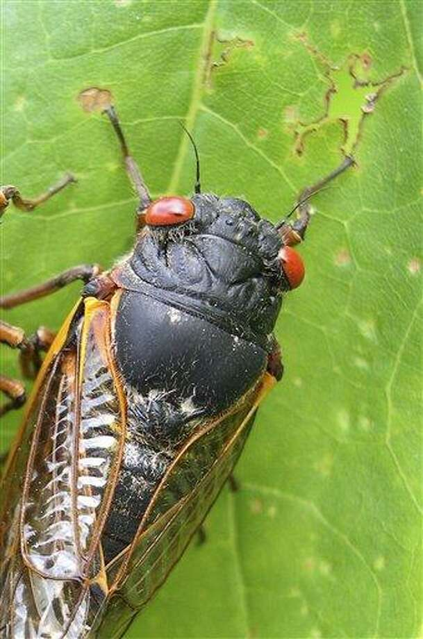 This photo provided by the University of Connecticut, shows a cicada in Pipestem State Park in West Virginia on May 27, 2003. Any day now, cicadas with bulging red eyes will creep out of the ground after 17 years and overrun the East Coast with the awesome power of numbers. Big numbers. Billions. Maybe even a trillion. For a few buggy weeks, residents from North Carolina to Connecticut will be outnumbered by 600 to 1. Maybe more. And the invaders will be loud. A chorus of buzzing male cicadas can rival a jet engine.(AP Photo/University of Connecticut, Chirs Simon) Photo: Ap / University of Connecticut