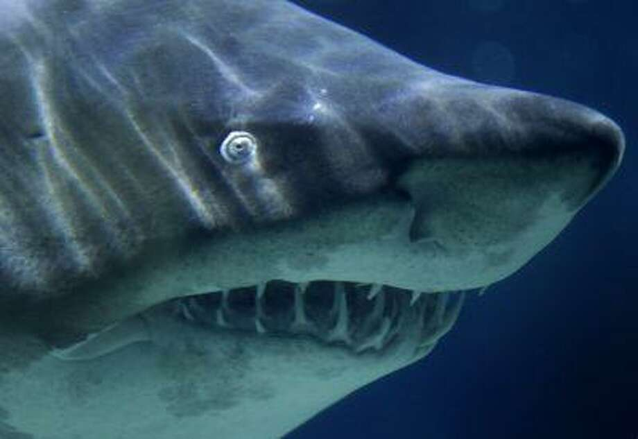 A sand tiger shark swims in its aquarium at the Zoo-Aquarium in Berlin, Germany, Tuesday, Nov. 9, 2010. Photo: ASSOCIATED PRESS / AP2010