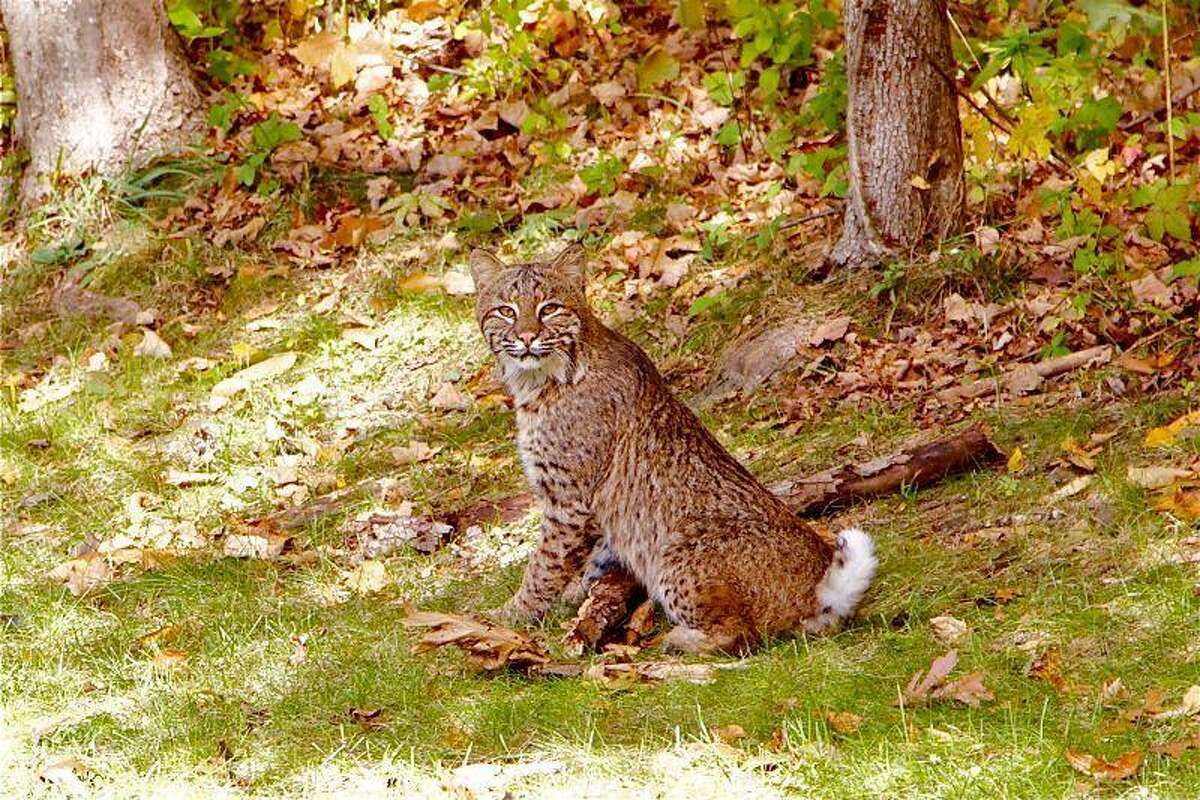 Bobcat spotted in Wallingford. Photo by Mary Bush.