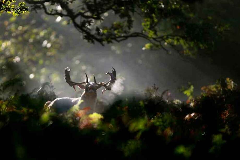 A lone stag walks through the early morning sunshine at Dunham Massey in Altrincham, north western England, Sunday. October is the peak of the stag rutting season when male deer fight for the right to mate with the hinds and their mating calls are heard throughout the countryside. AP Photo/Dave Thompson Photo: AP / PA