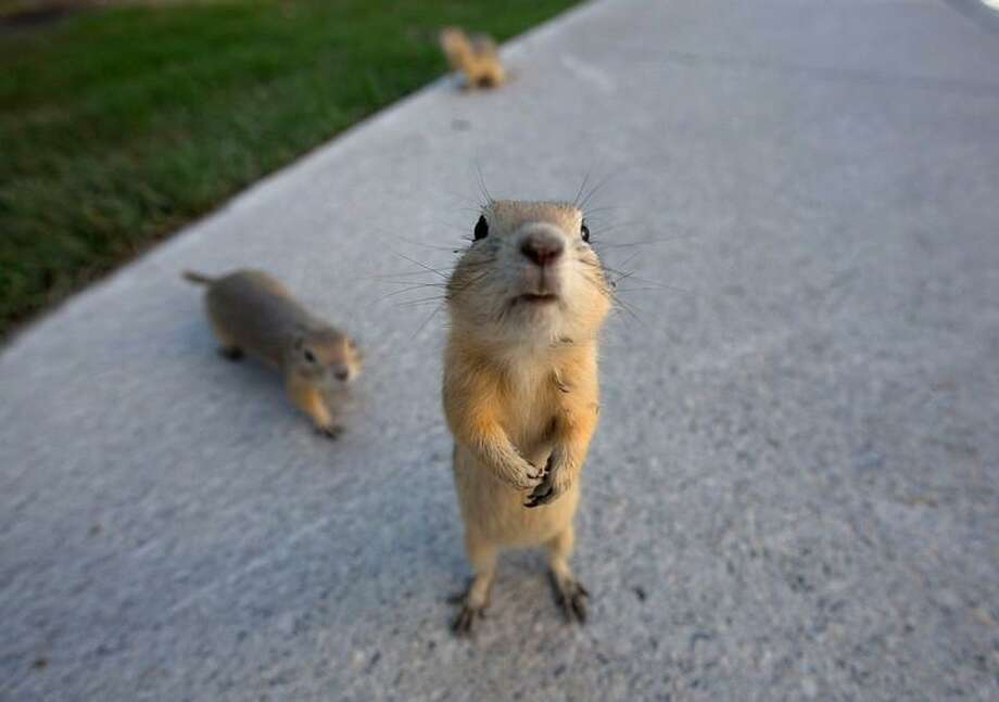 Gophers on the city sidewalks after their  burrows were flooded in Calgary, Alberta June 22, 2013. REUTERS/Todd Korol Photo: REUTERS / X00147