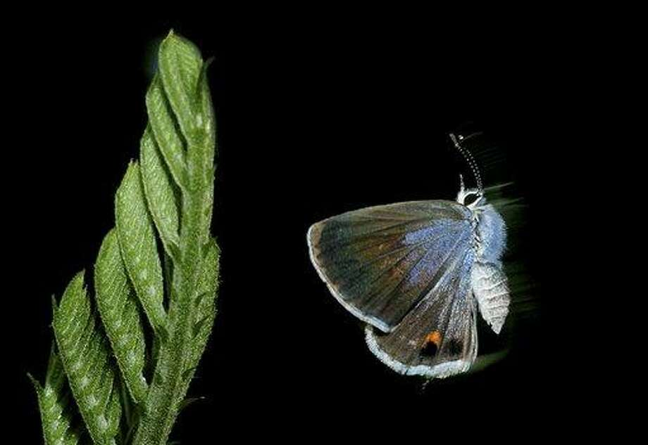In this undated photo, a Miami blue butterfly is shown at Bahia Honda State Park in the Florida Keys. No confirmed Miami blues have been seen on Bahia Honda since July 2010. The U.S. Fish and Wildlife Service last August issued an emergency listing of the Miami blue as an endangered species. Associated Press Photo: ASSOCIATED PRESS / AP2007