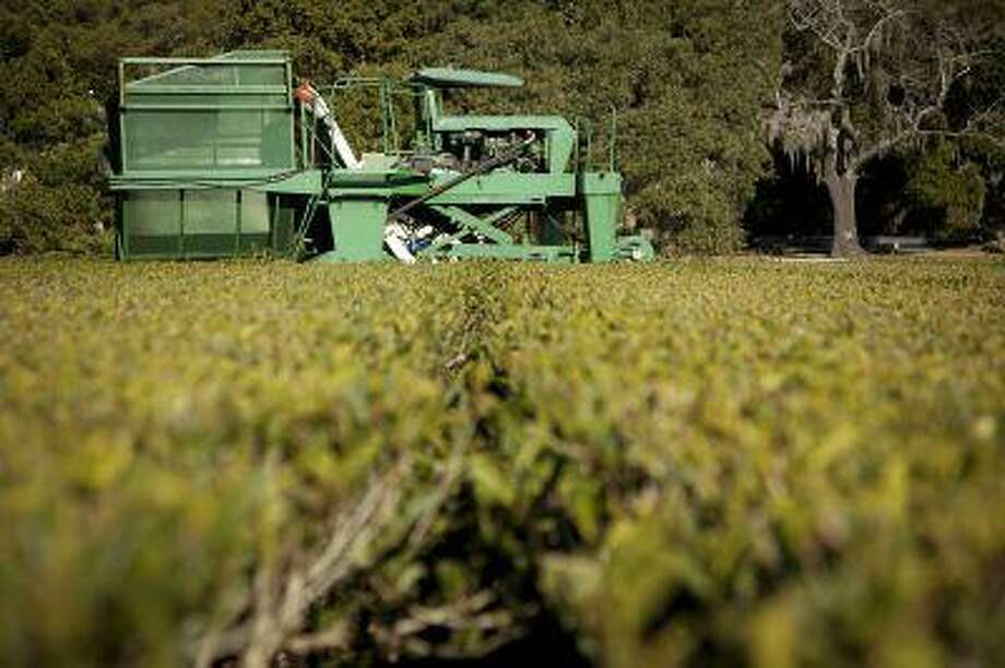 A machine nicknamed the Green Giant, which can do the work of 500 people, helps harvest the tea at the Charleston Tea Plantation. (Bloomberg News photo by Ariana Lindquist)