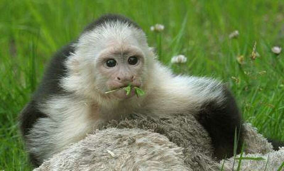 White headed capuchin monkey Mally sits in the new monkey open-air enclosure at Serengeti Park near Hodenhagen, Germany, Wednesday June 26, 2013. Mally the monkey, Canadian pop singer Justin Bieber's former pet, has emerged from quarantine at his new German home three months after his then-owner brought him to the country. The 27-week-old capuchin monkey moved Wednesday into a new enclosure at the Serengeti Park in Hodenhagen, in northern Germany. (AP Photo/dpa,Holger Hollemann) Photo: ASSOCIATED PRESS / AP2013