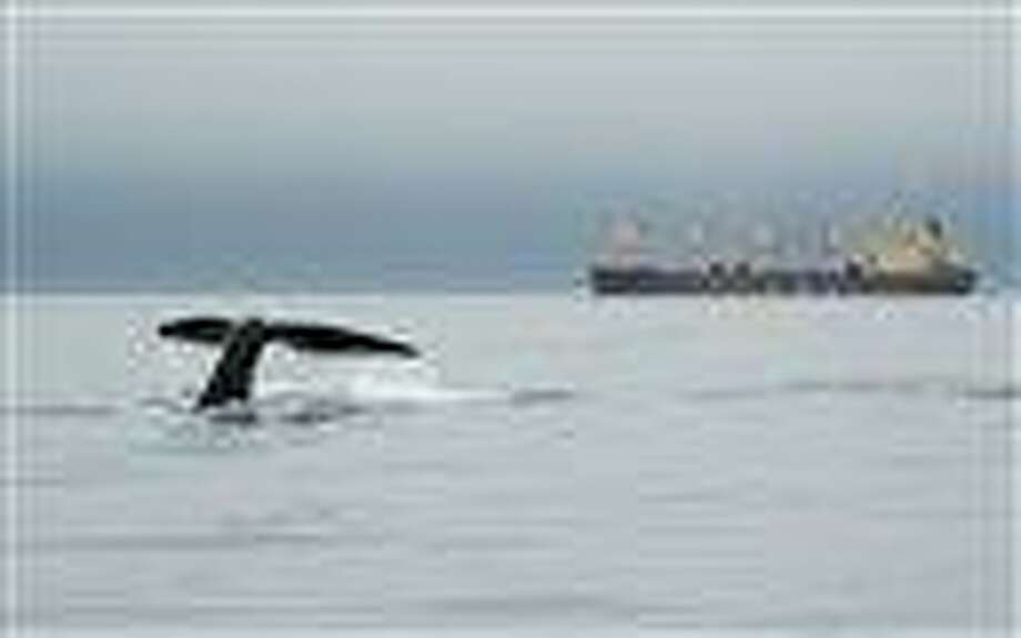 In this 2007 photo released by the New England Aquarium, a right whale dives near a ship in Canada's Bay of Fundy. A study published in London this week shows that reduced ship traffic in the Bay of Fundy after Sept. 11, 2001, resulted in a significant decrease in underwater noise and a corresponding reduction of stress hormones in right whales. Associated Press Photo: AP / New England Aquarium