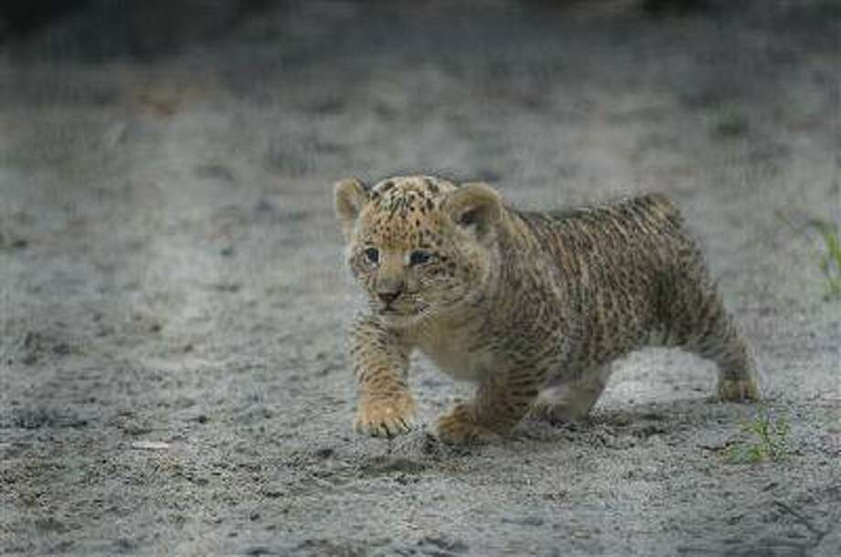 In this Tuesday, June 18, 2013 photo, a month-old liliger cub walks in Novosibirsk Zoo. The cub's mother is Zita, a liger - half-lioness, half-tiger, and its father is a lion, Sam. (AP Photo /Ilnar Salakhiev) Photo: AP / AP