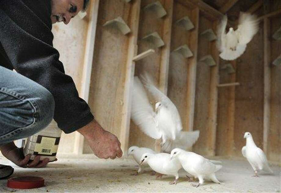 AP MEMBER FEATURE EXCHANGE ADVANCE FOR SATURDAY FEB. 4 - In this Thursday Jan. 26, 2012 photo, Steve Vlaun feeds his white racing pigeons in their coop in his Waterford Conn., yard. Vlaun keeps 14 of the birds now but hopes over the next few breeding seasons to expand his flock to 50. (AP Photo/Sean D. Elliot, The Day) MANDATORY CREDIT: SEAN D. ELLIOT/THE DAY Photo: AP / 2011 The Day Publishing Company