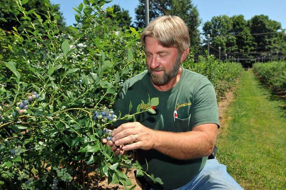 Jonathan Bishop looks over the blueberry crops at Bishop's Orchards Tuesday afternoon. The Farm is having a good season so far due to the warm spring. Peter Casolino/New Haven Register