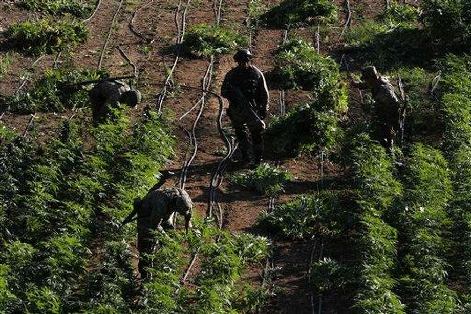 Soldiers seize marijuana plants at an illegal plantation found during a military operation on Friday at the Culiacan mountains, northern Mexico, Monday. The drought in northern Mexico is so bad that it has hurt even illicit drug growers and their normally well-tended crops of marijuana and opium poppies, Gen. Pedro Gurrola, commander of army forces in the state of Sinaloa, said. Associated Press Photo: ASSOCIATED PRESS / AP2012