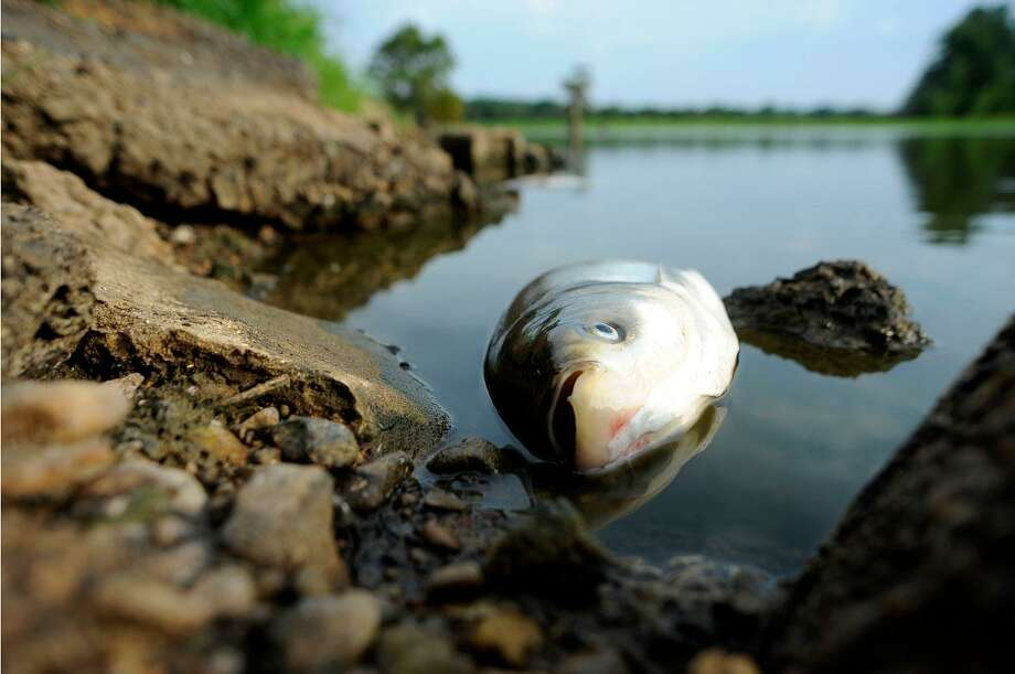 A dead fish lies in Mitchell Lake in the Ballard Wildlife Management Area near Barlow, Ky., as lack a of rain and excessive heat deplete oxygen from the water Wednesday, July 18, 2012. (AP Photo/Stephen Lance Dennee) Photo: ASSOCIATED PRESS / AP2012