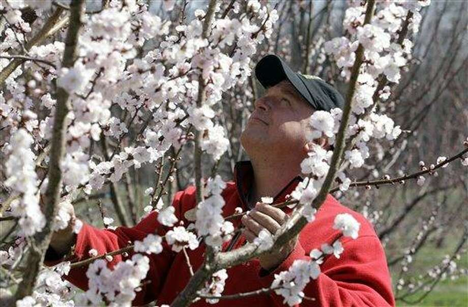 Tom Szulist, co-owner of Singer Farms Naturals, looks over an apricot tree in full bloom Monday on the farm in Appleton, N.Y. Cold air overnight threatens to freeze plants that have budded or blossomed early amid record-setting warmth.  Associated Press Photo: AP / AP