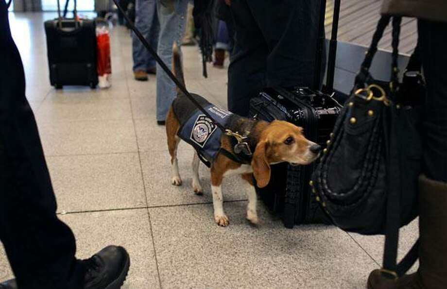Izzy, an agricultural detector beagle whose nose is highly sensitive to food odors, sniffs incoming baggage and passengers at John F. Kennedy Airport's Terminal 4 in New York. This U.S. Customs and Border Protection team works to find foods and plants brought in by visitors that are considered invasive species or banned products, some containing insects or larvae know to be harmful to U.S. agriculture. Associated Press file photo Photo: AP / FR61802 AP