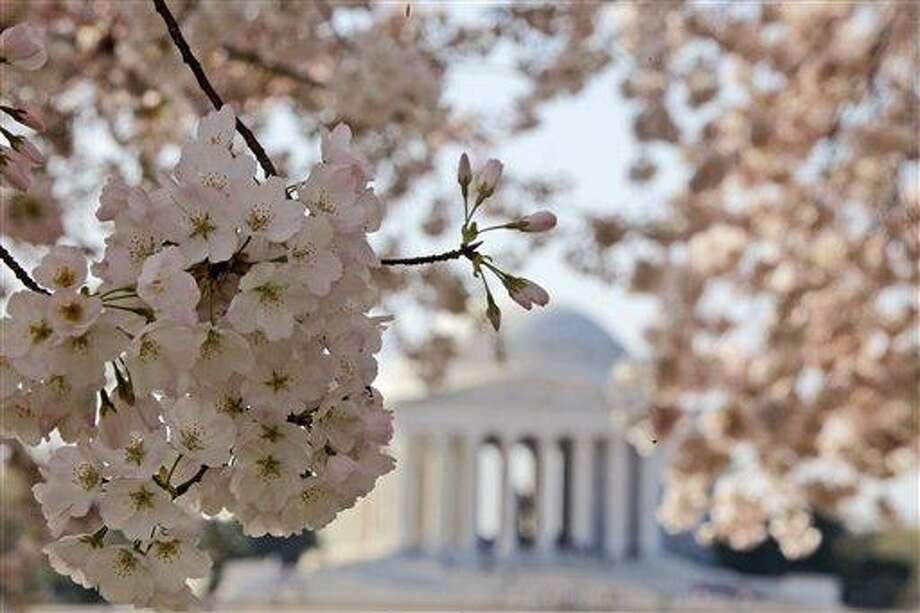 Blooming cherry blossoms frame the Jefferson Memorial March 19 on the Tidal Basin in Washington. Washington's famous cherry blossoms turn 100 years old this year, offering a chance to look at the history of the oldest trees still standing that were once planted by first lady Helen Taft and the Japanese emperor's wife. Associated Press Photo: AP / Copyright 2012 The Associated Press. All rights reserved. This material may not be published, broadcast, rewritten or redistributed.