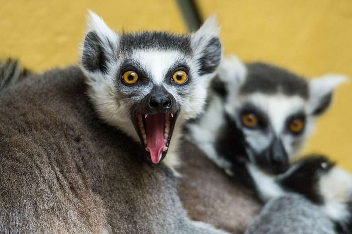 A ring-tailed lemur at the Tierpark zoo in Straubing, southern Germany on March 25, 2013. AFP PHOTO / ARMIN WEIGEL