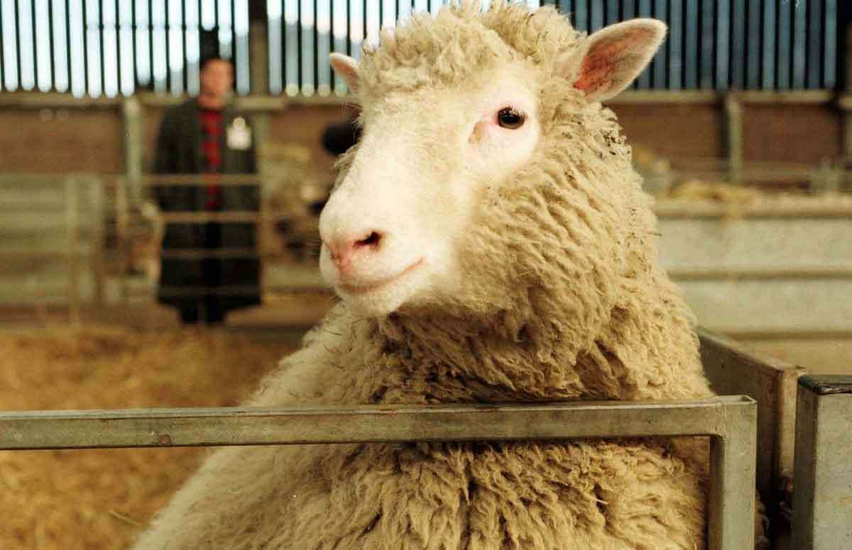 Seven-month-old Dolly, the genetically cloned sheep, looks towards the camera at the Roslin Institute Tuesday, Feb. 25, 1997. It was revealed that Dolly, the first animal to be genetically cloned from adult cells, got her name from Country singer Dolly Parton. (AP Photo/Paul Clements)