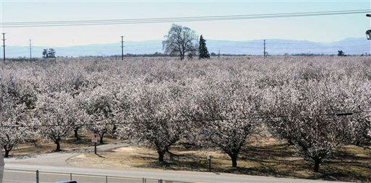 A blooming almond orchard stands Feb. 24 in Ceres, Calif. A mild and dry winter that gave insects a reprieve from certain death now threatens to make spring a tough season for many U.S. farmers. Associated Press