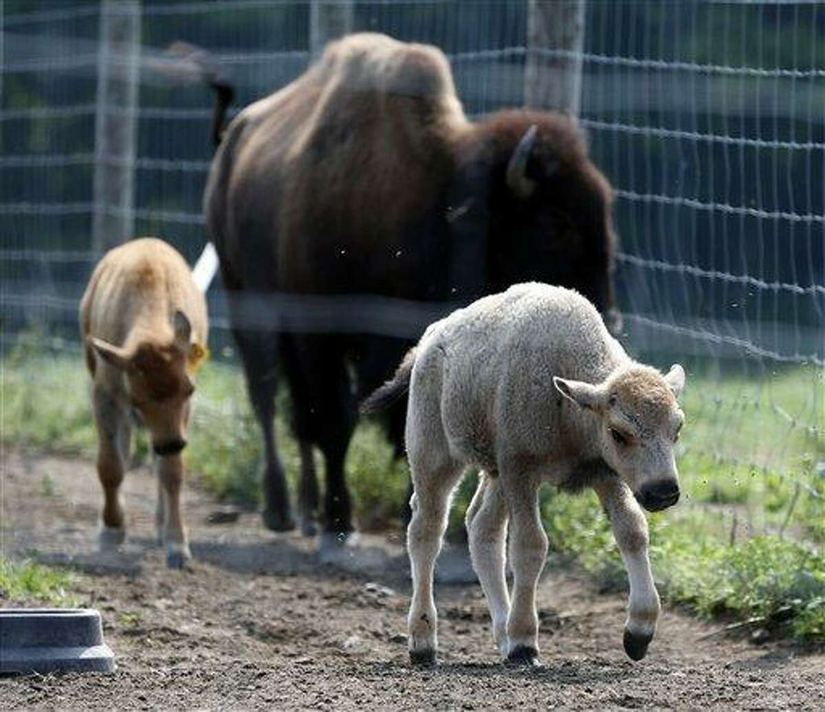 A white bison calf walks in a field with other bison at the Mohawk Bison farm July 18 in Goshen. Associated Press