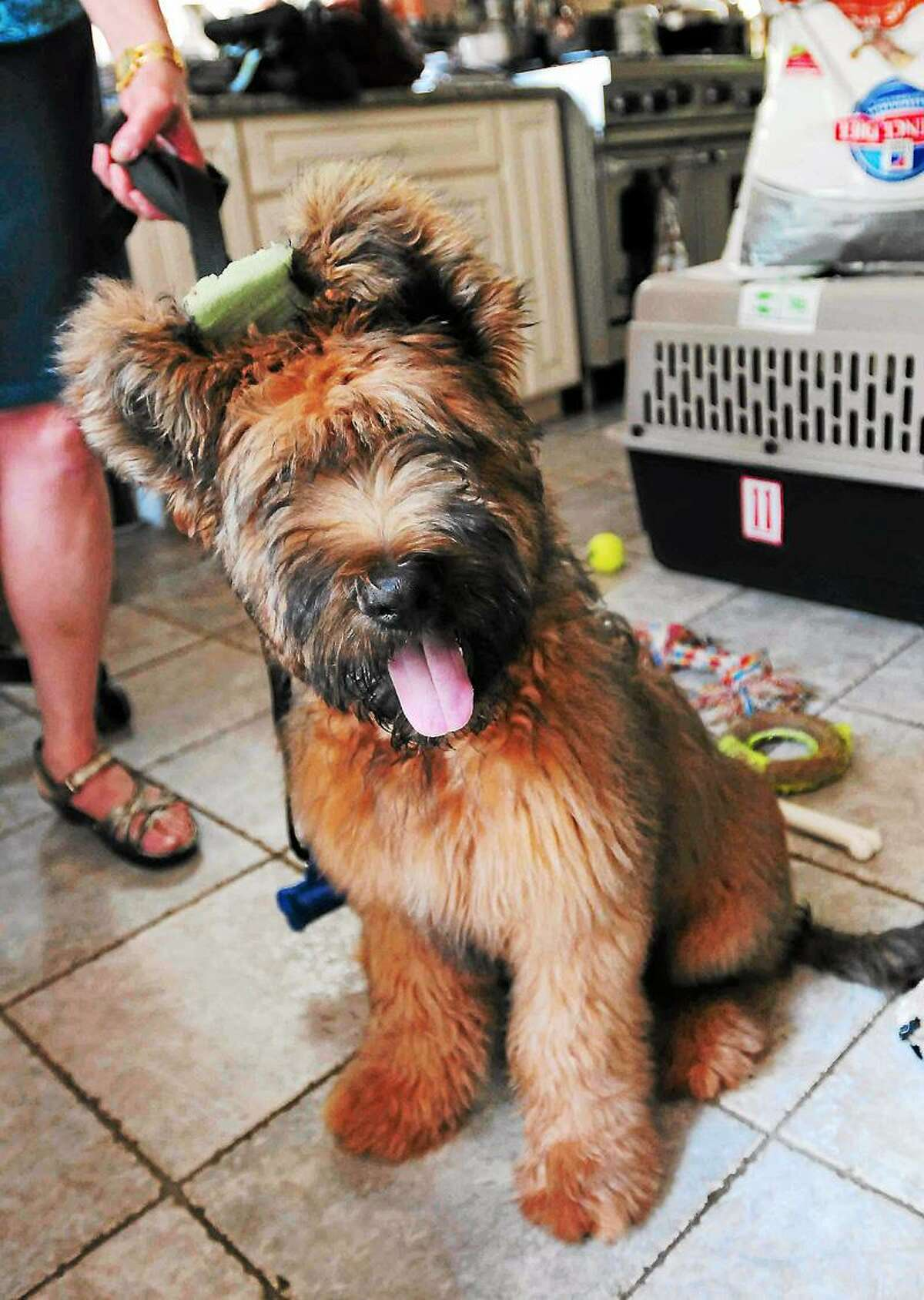 Phineas, a four-month old Briard dog whose owner, Victoria Morrow, was bitten by an unleashed dog. Morrow, who did not want to be in a photograph, criticizes New Haven Animal Shelter supervisor New Haven Police officer Stephanie Johnson for not protecting the public from dangerous unleashed dogs. Peter Hvizdak/Register