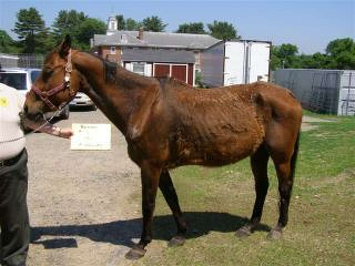 The CT Department of Agriculture, Bureau of Regulation and Inspection, often helps and works with rescue operations to save and rehabilitate abused horses. Here are photos of a horse at time of seizure and after rehabilitation.