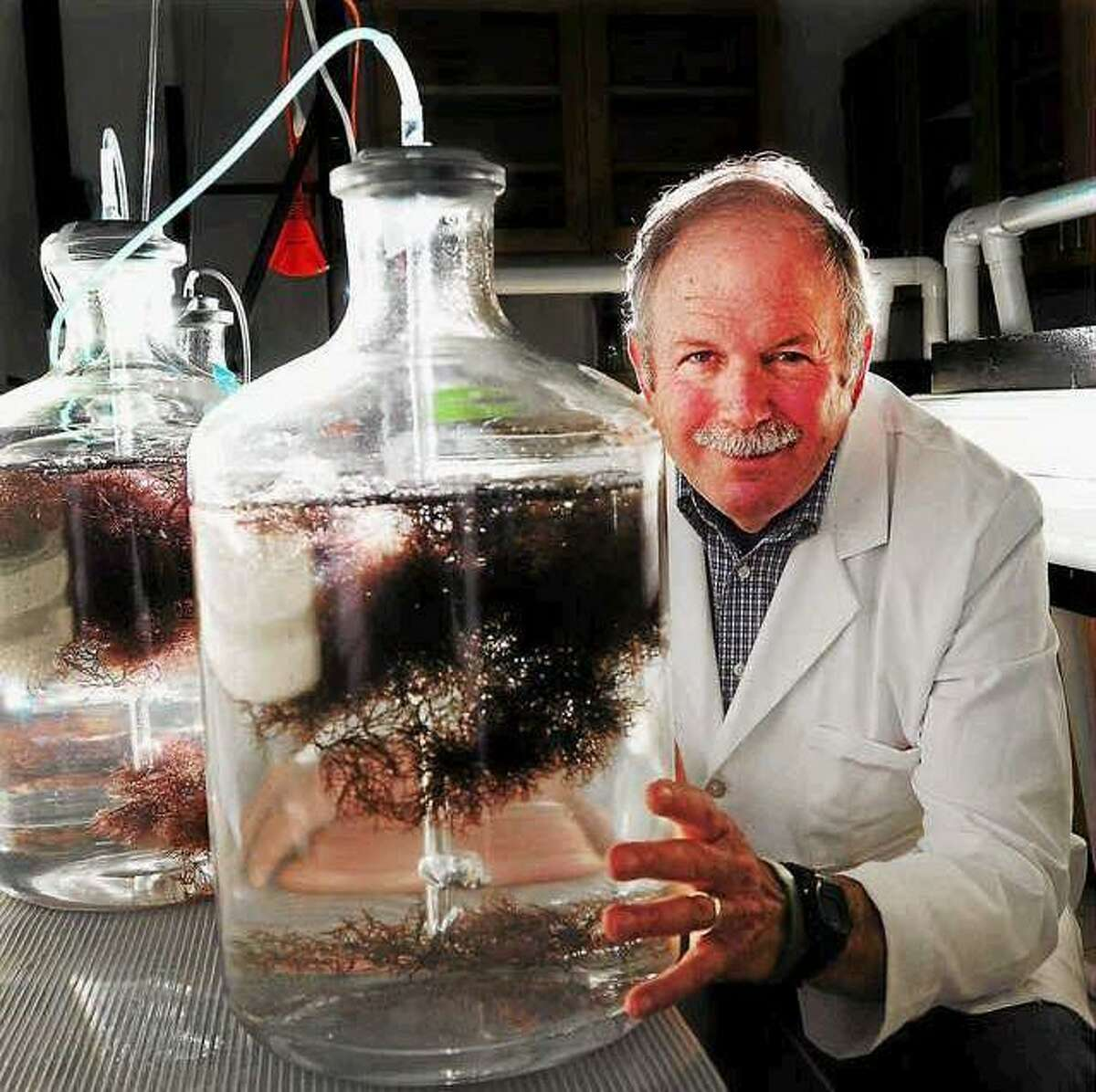 Charles Yarish, a world expert in aquaculture cultivated seaweed, sits in a seaweed nursery lab with a summer crop of the red seaweed Gracilaria at the Ecology Evolutionary Biology and Marine Sciences department at the University of Connecticut Stamford, Connecticut Branch Wednesday July 10, 2013. Yarish has been involved in research on ways to grow kelp and other seaweed as commercially available sea vegetable crops. Peter Hvizdak -- Register