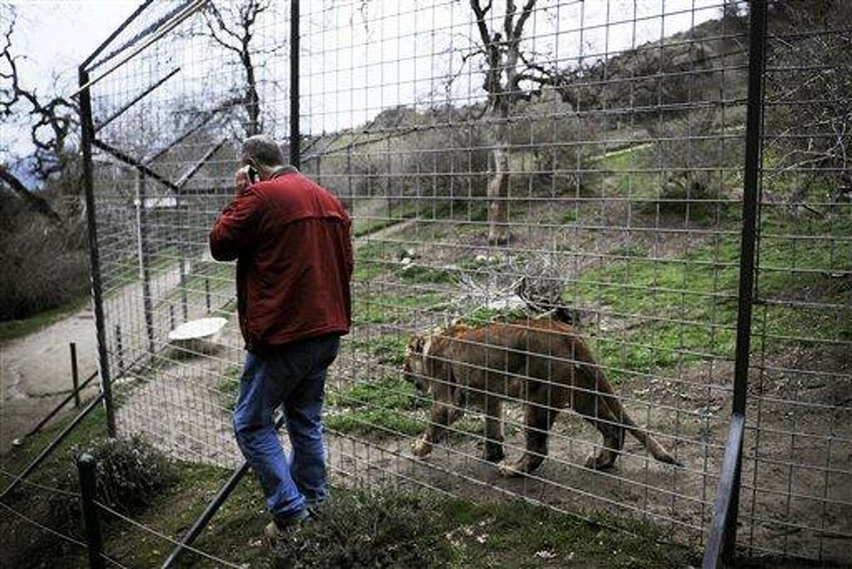 Dale Anderson, founder of Project Survival Cat Haven near Dunlap, Calif, walks quietly with Pele, Thursday March 7, 2013, a female lion, at the same fenced habitat area where a day earlier Cat Haven sanctuary worker Dianna Hanson, 24, died from an attack by Cous Cous, a male lion twice the size of Pele, according to Anderson. (AP Photo/Eric Paul Zamora, The Fresno Bee)