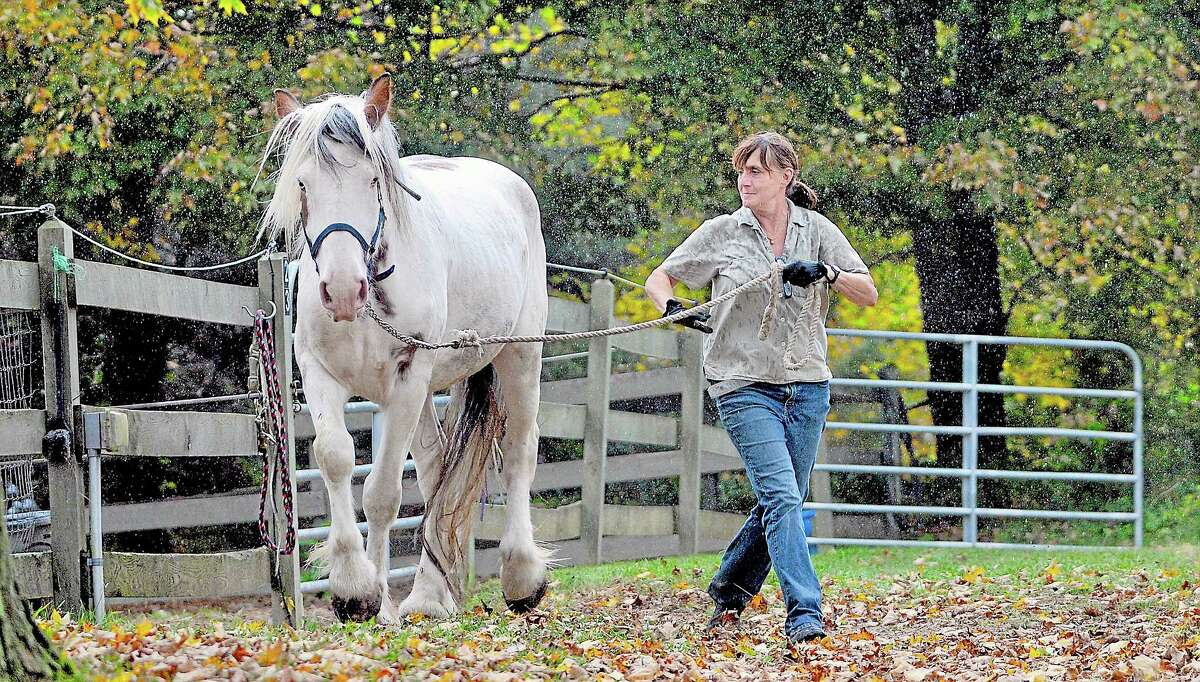 Bonnie Buongiorne, founder of Ray of Light in East Haddam leads Petey, a Premarin rescue, out of the corral and into the barn Monday. Catherine Avalone - The Middletown Press