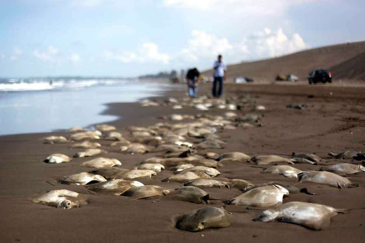 Stingray carcasses litter the shore of the Chachalacas beach near the town of Ursulo Galvan on Mexico's Gulf Coast, Tuesday, July 16, 2013. Mexican authorities are investigating the death of at least 250 stingrays. Ursulo Galvan Mayor Martin Verdejo says witnesses told authorities fishermen dumped the stingrays on the beach because they weren't able to get a good price for them. Chopped stingray wings are commonly served as snacks in Veracruz restaurants. (AP Photo/Felix Marquez)