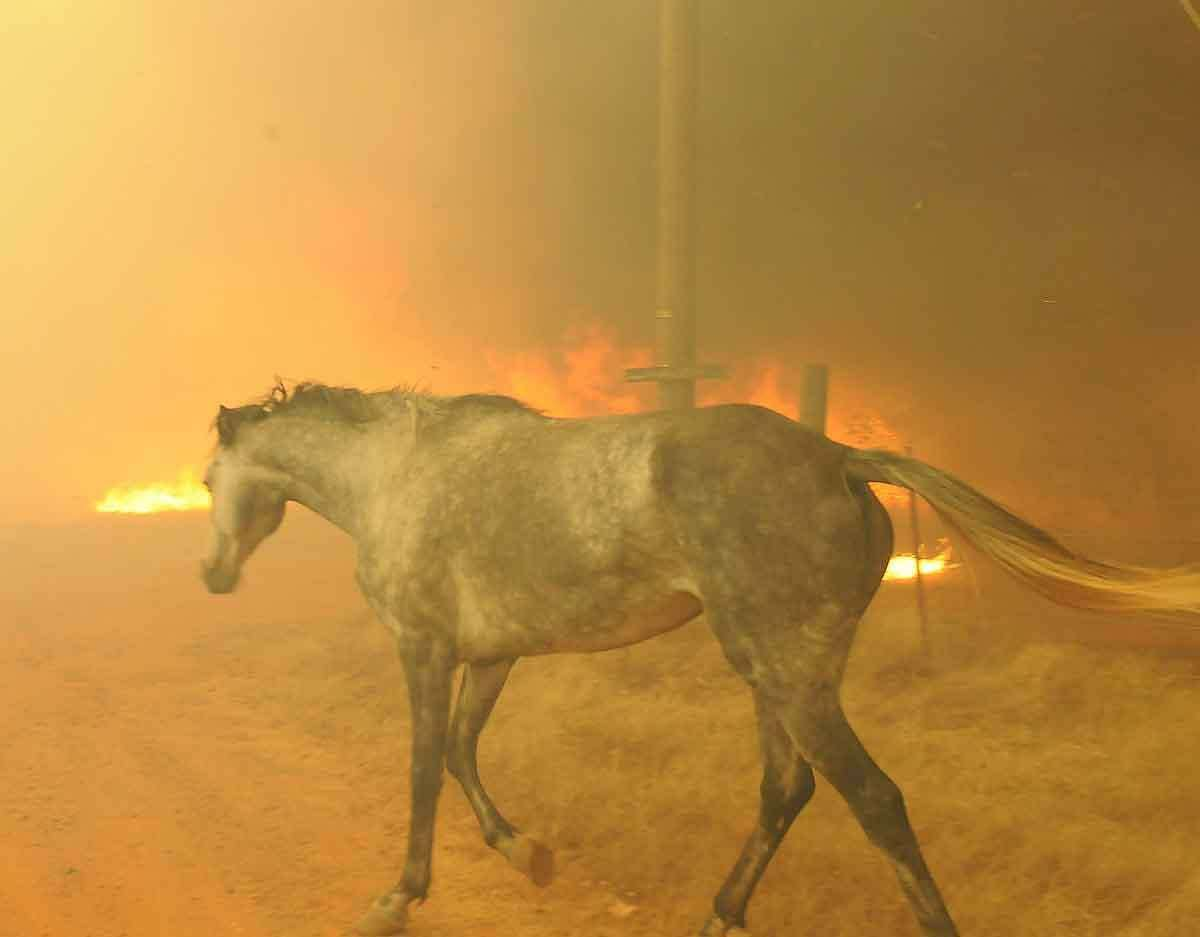 A horse tries to escape a wildfire burning Friday in the eastern part of the Cleveland County in Slaughter, Okla. The horse was eventually rescued. A wildfire whipped by gusty, southerly winds swept through rural woodlands north and south of Oklahoma City on Friday, burning several homes as firefighters struggled to contain it in 113-degree heat. Associated Press