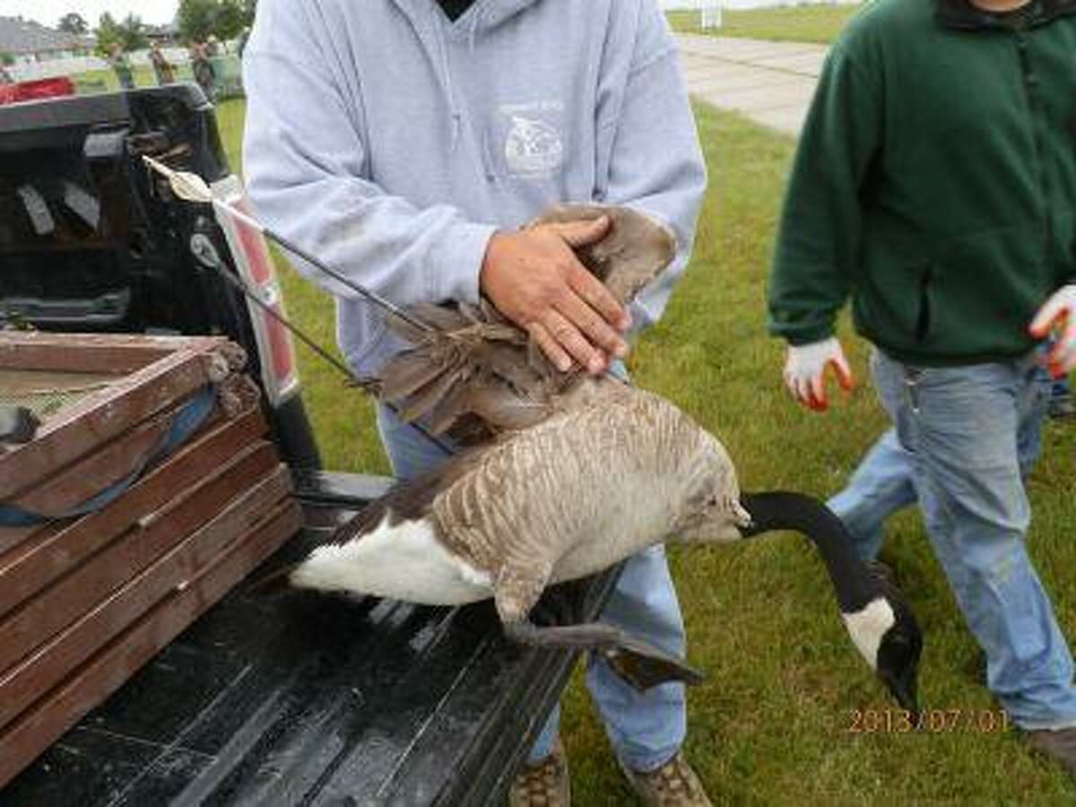 This 2013 photo provided by the Michigan Department of Natural Resources via The Bay City Times shows a Canada goose that was first spotted in April 2013 with an arrow protruding from its breast.