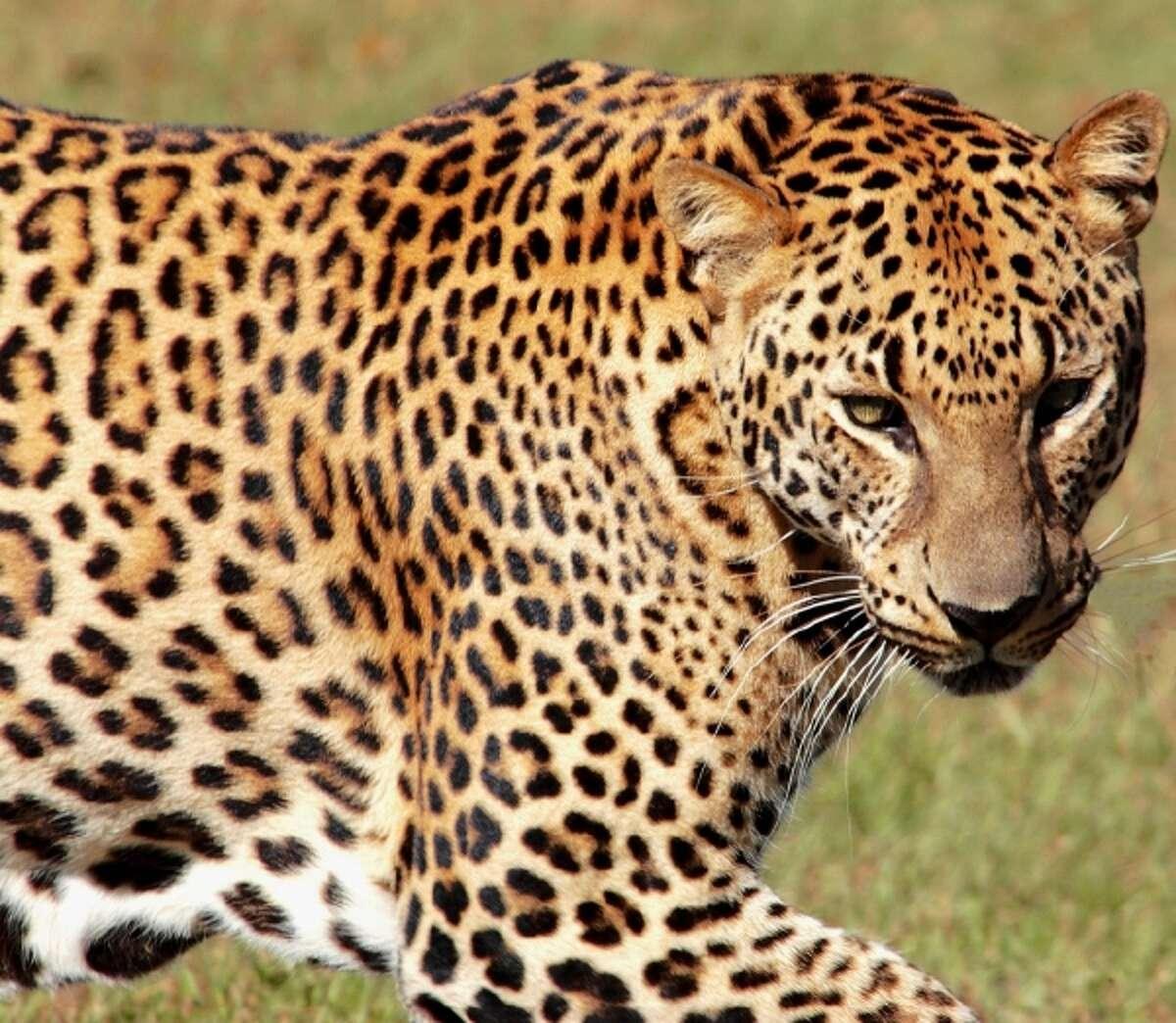 A leopard.